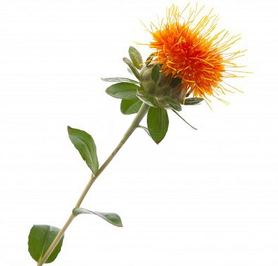 Benefits of Safflower oil. Safflower - Carthamus tinctorius