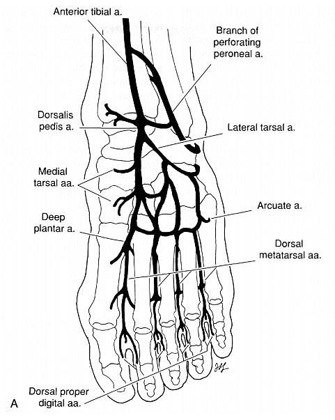 General pattern of the arterial supply to the foot. (A) Dorsal foot. Images of foot