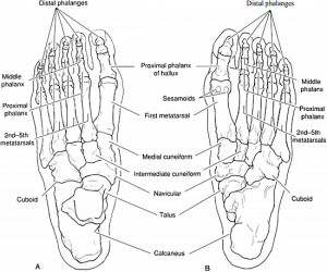 Normal foot anatomy Images of foot