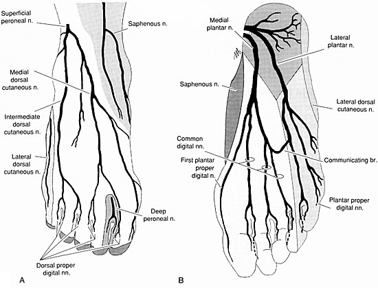 Foot anatomy. Cutaneous innervation to the foot. (A) Dorsal foot. (B) Plantar foot. Images-of-foot